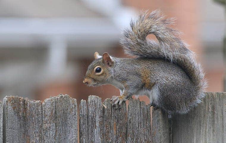 a grey squirrel on a fence