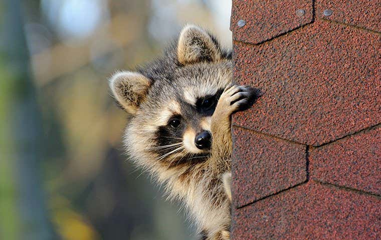 racoon on a roof