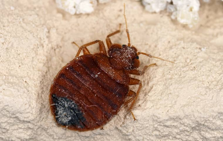 a dusty bed bug up close