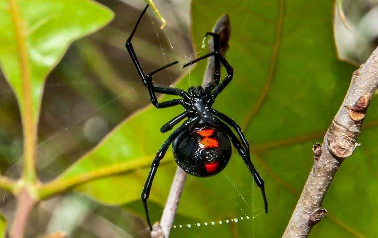 a black widow spider in its web in a backyard