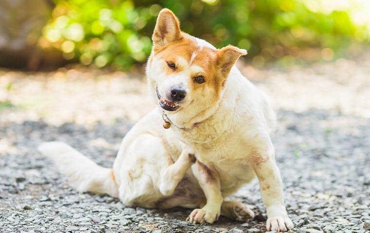 pet dog scratching flea