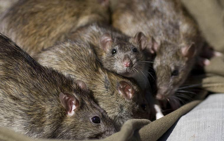 rats eating trash