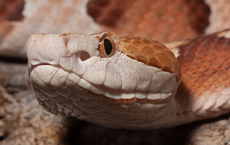 close up of a copperhead snakes head