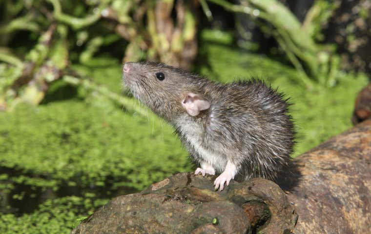 wet rat on a drain pipe
