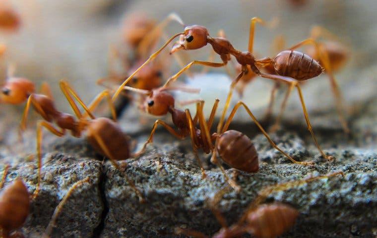 dozens of fire ants on a walkway
