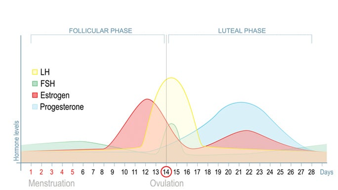 Infographic chart of the 28 day menstrual cycle