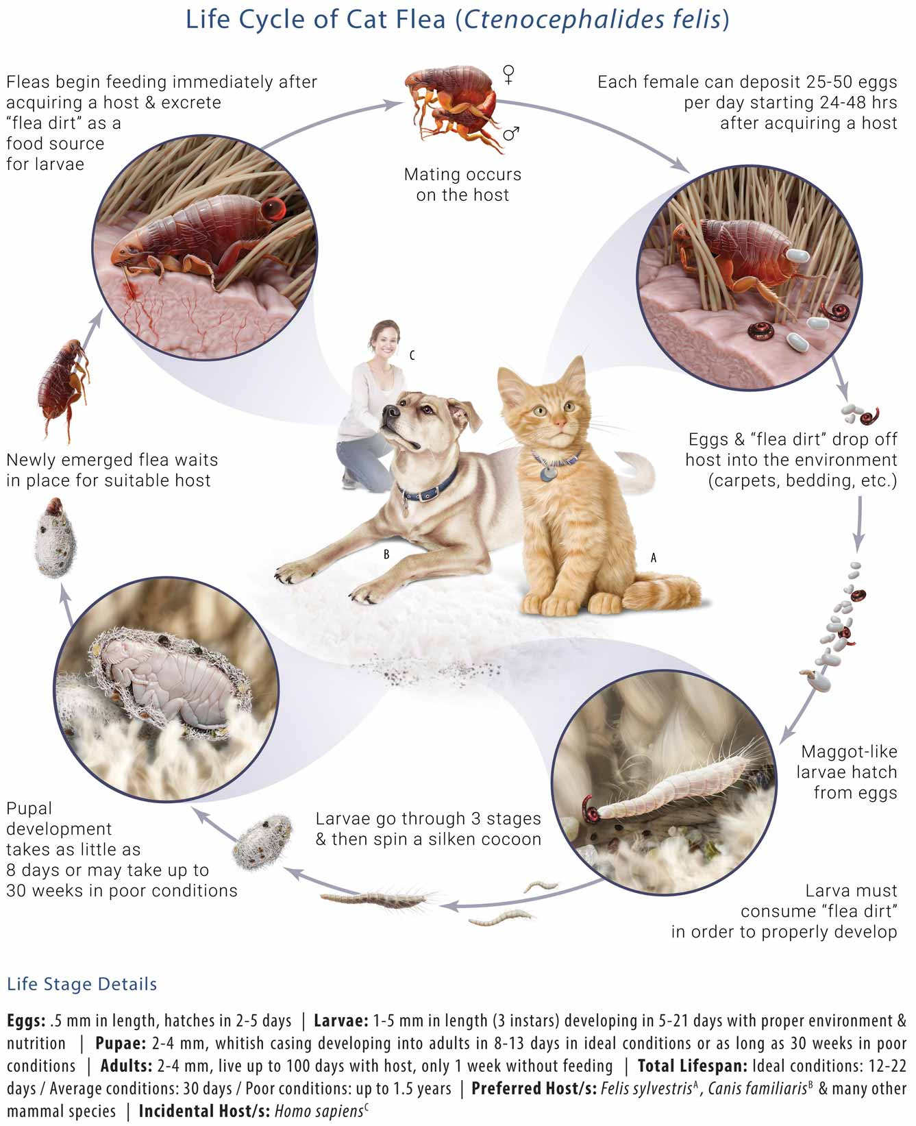 Life Cycle of a Cat Flea. Fleas begin feeding immediately after acquiring a host and excrete flea dirt as a food source for larvae. Mating occurs on the host. Each female can deposite 25-50 eggs per day starting 24 to 48 hours after acquiring a host. Eggs and flea dirt drop off host and into the environment (carpets, bedding, etc.). Maggot-like larvae hatch from eggs and must consume flea dirt in order to properly develop. The larvae go through 3 stages and then spin a silken cocoon. Pupal development takes as little as 8 days or may take up to 30 weeks in poor conditions. The newly emerged flea waits in place for a suitable host.