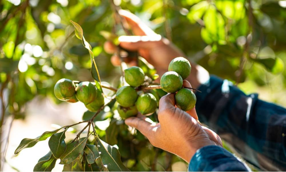 Hand picking macadamia tree and its fruit In the garden..jpg