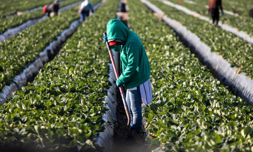 Woman farm worker in green sweatshirt in strawberry field with shovel and other farms workers and rows of strawberry plants in background (1).jpg