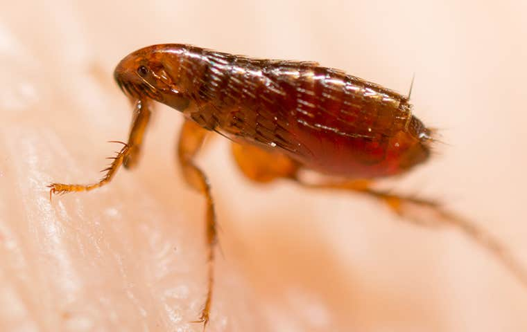 a flea on skin in maine