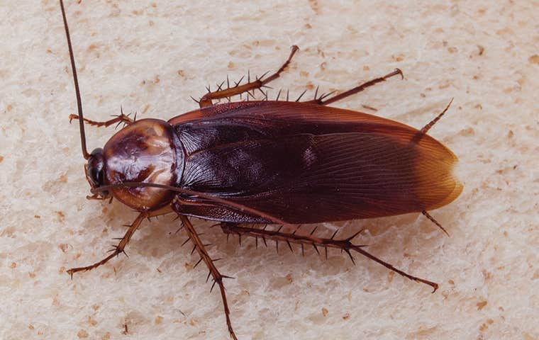 an american cockroach in maine