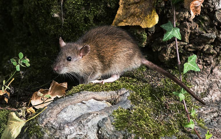 a mouse on the ground in maine
