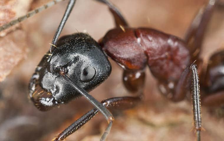carpenter ant in maine