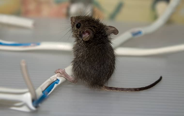 mouse chewing wires in maine
