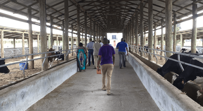 A group of people walking through a cow barn