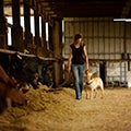 woman walking through a barn next to cows whilst petting a dog