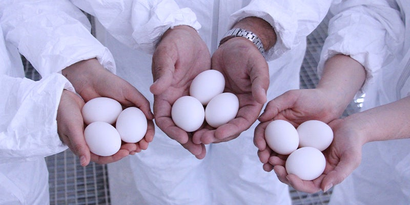 close up of people holding three eggs each in their hands