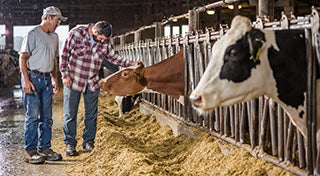two men in a barn looking at a cow in a pen with one of the men touching the cow