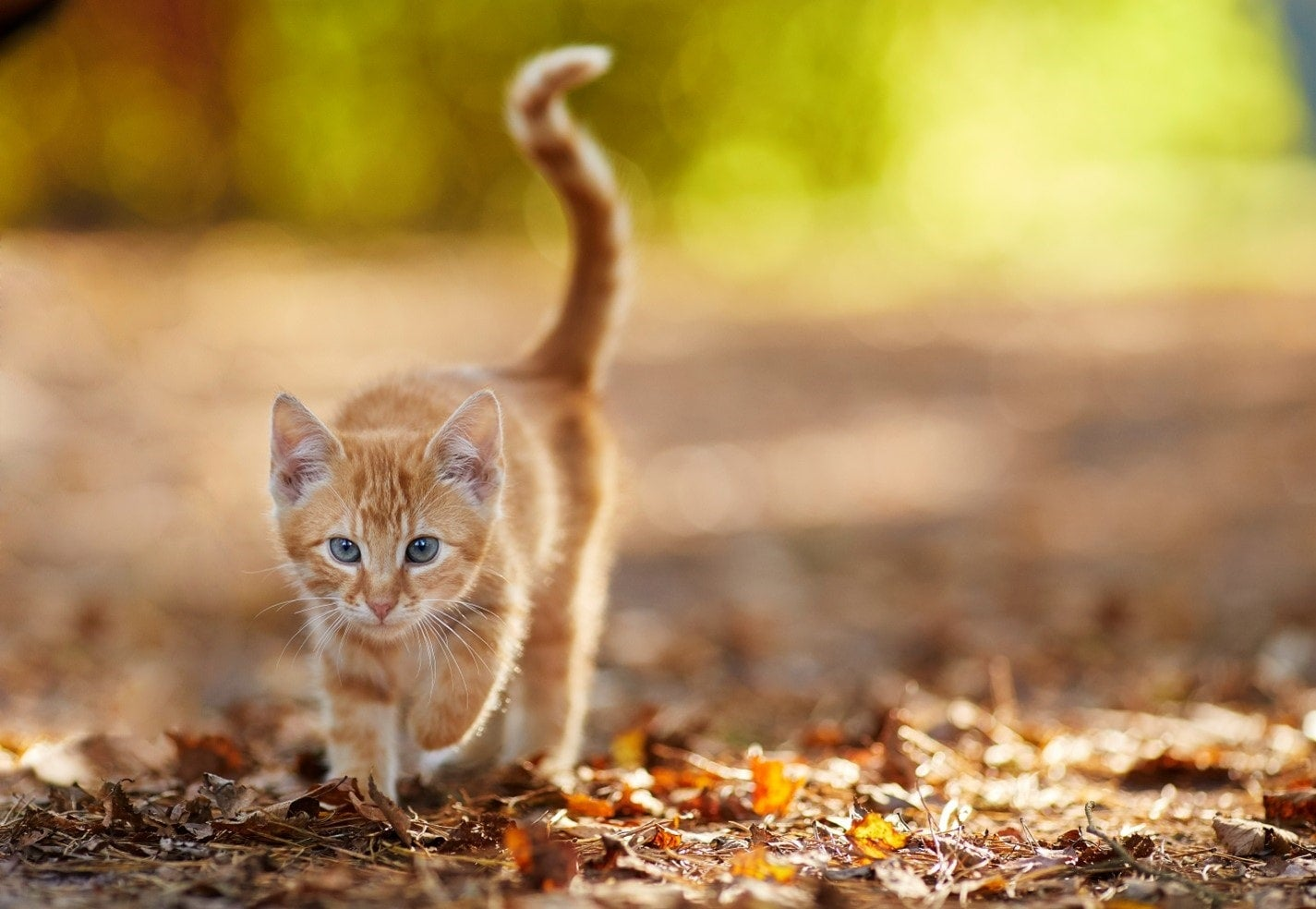 A cat walking in leaves