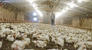 a man stood in the middle of a barn full of chickens