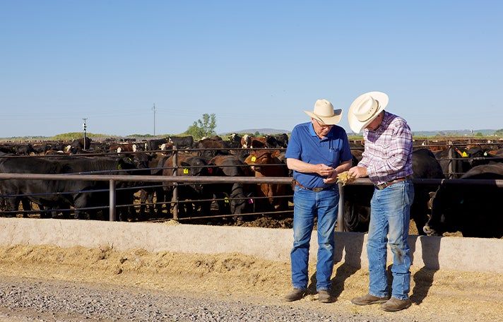 two men stood in front of a pen of cows holding something and both inspecting it