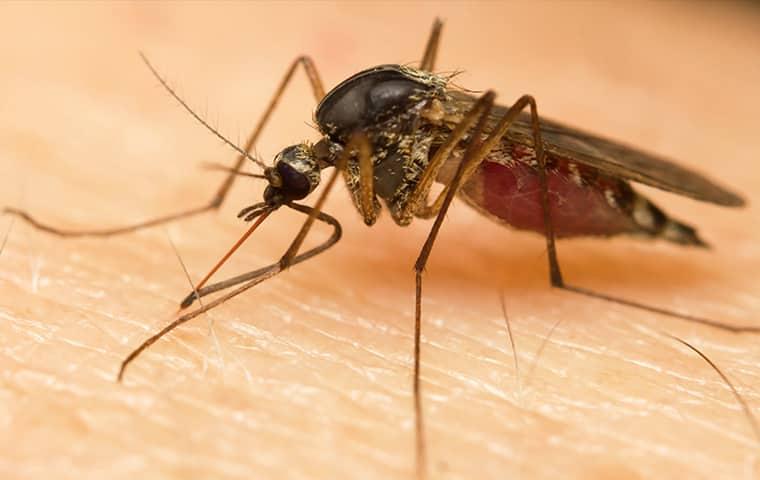 mosquito on skin in augusta georgia