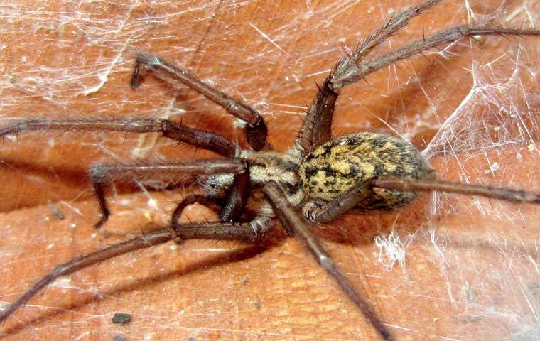 spider in web in augusta georgia