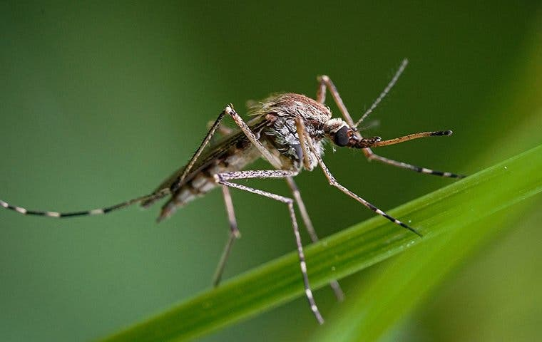 mosquito on grass in augusta georgia
