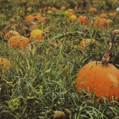orange pumpkins in a field