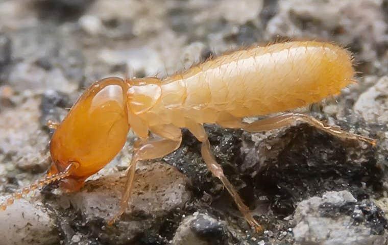 termite up close