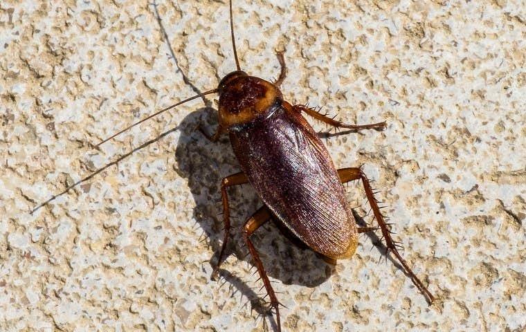 big cockroach on a rock