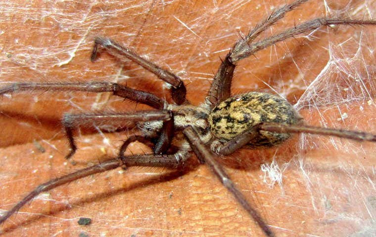 house spider on a web