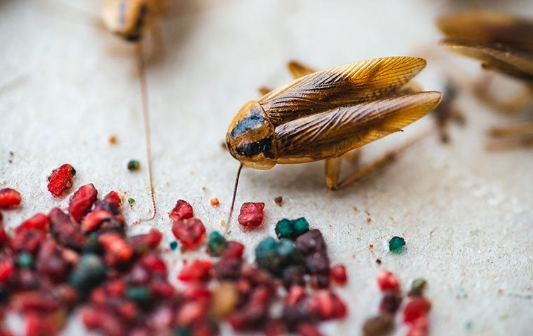 a german cockroach on a kitchen counter