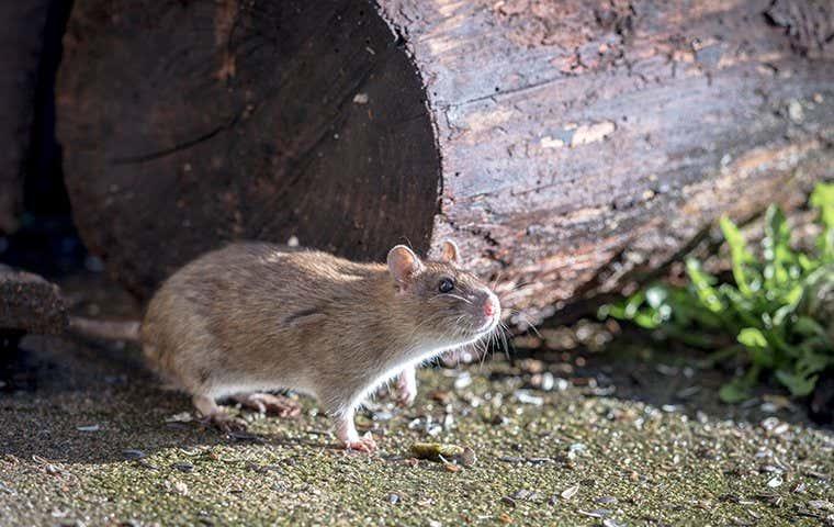 a rat near a piece of wood