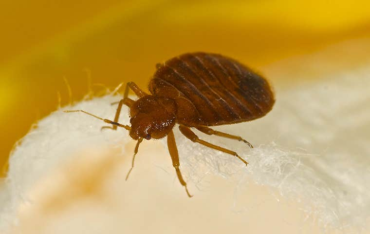 bed bug up close on a mattress