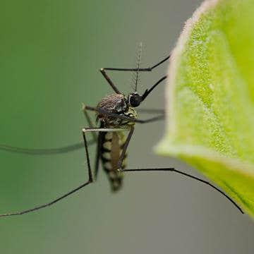 a mosquito on a leaf in alpharetta georgia