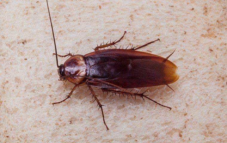 cockroach walking around on countertop