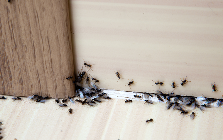 ants in home