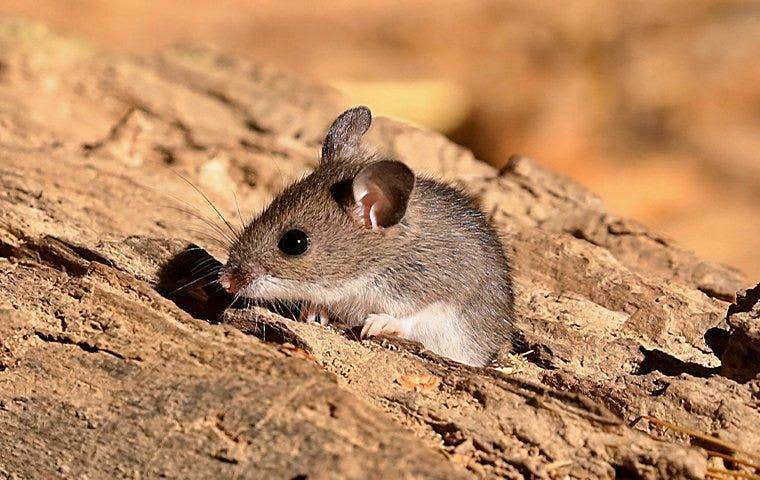 field mouse poking head out of log