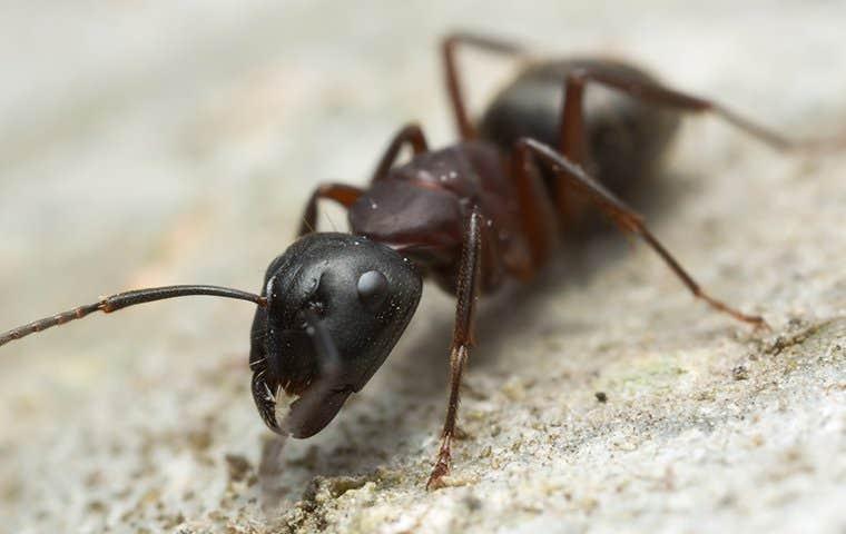 black ant closeup on rock