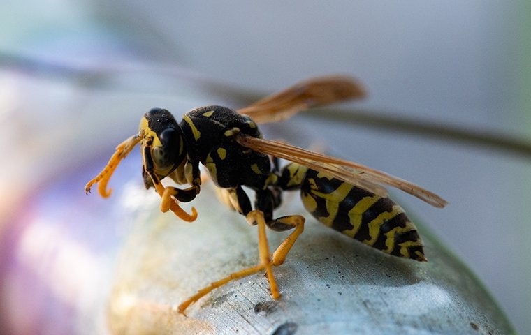a yellow jacket wasp on a porch