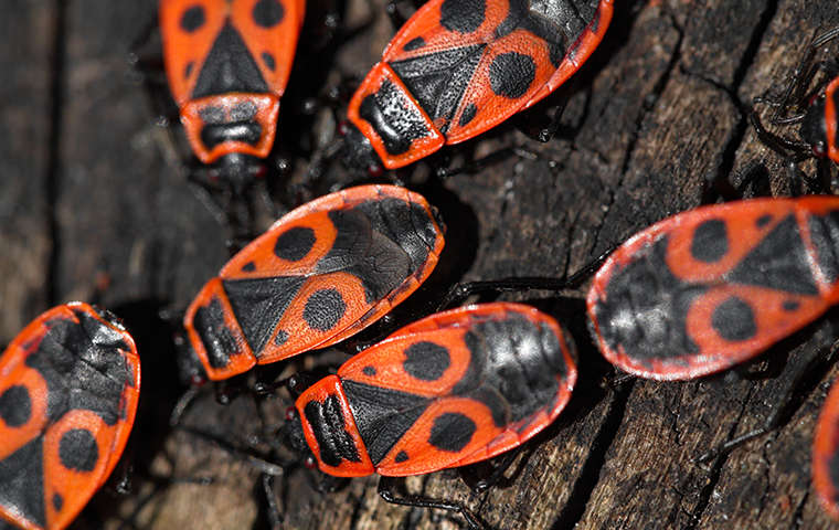 swarm of boxelder bugs