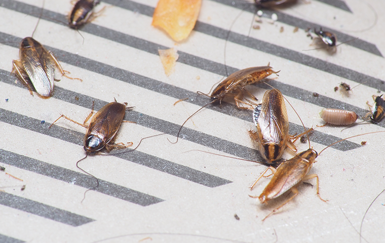 roaches in home
