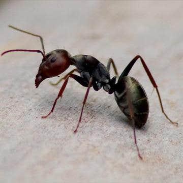 black ant closeup