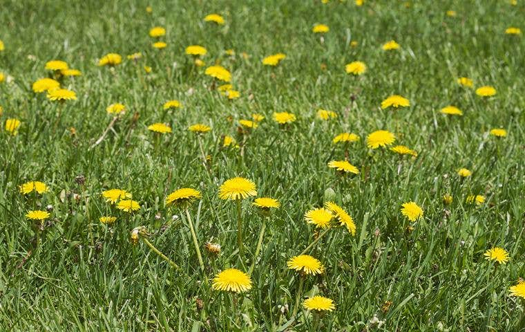 yellow flowers/weeds in lawn