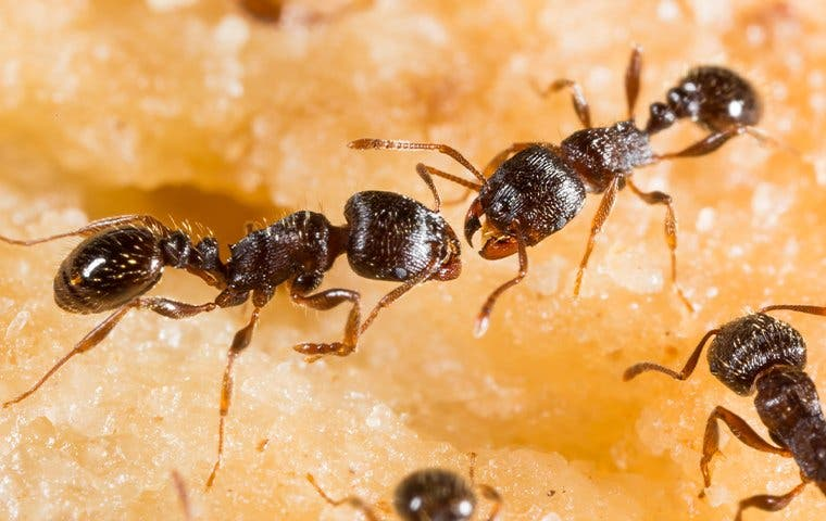 several pavement ants crawling on food