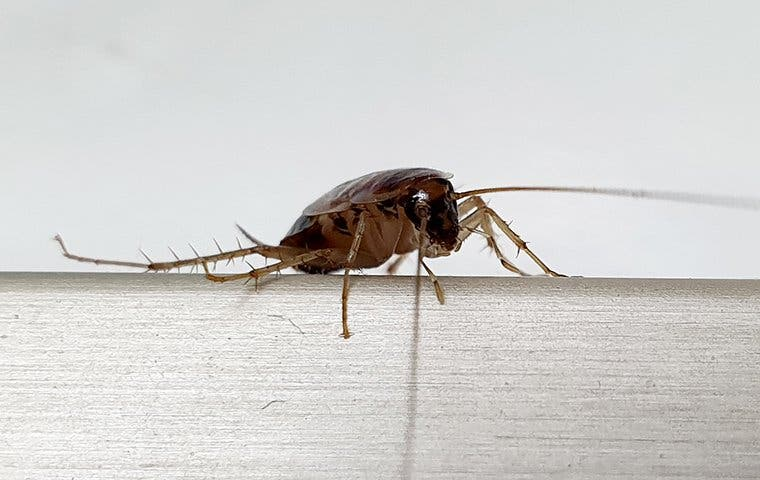 a german cockroach on the back of a chair