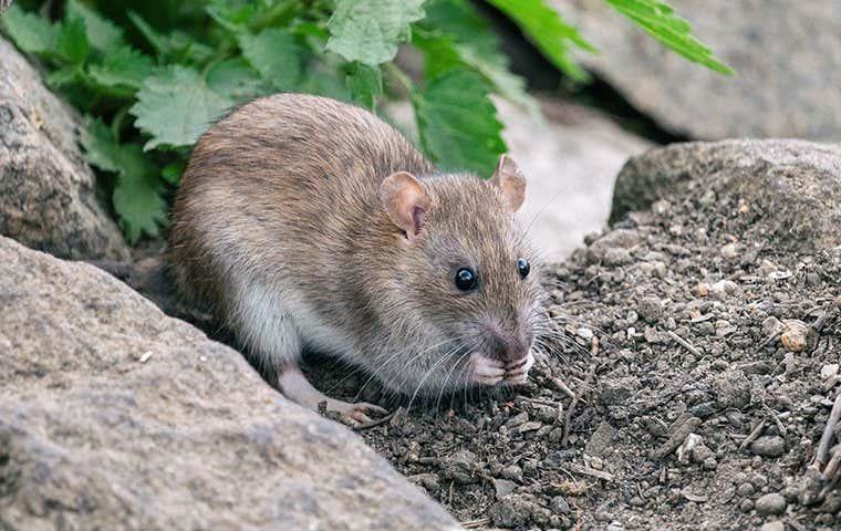 a mouse in durham north carolina