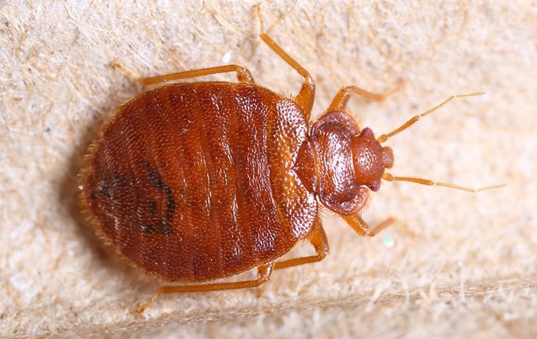 close up of bed bug on furniture