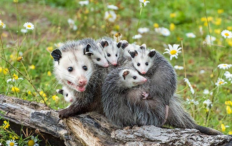 a family of opossum in durham north carolina